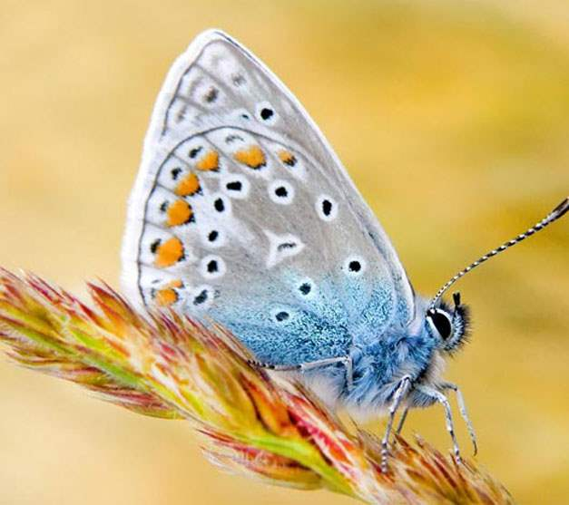 Blue butterfly Samsung Galaxy S3 mobile wallpaper