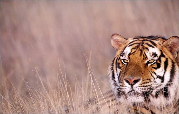 tiger_in_the_long_grass