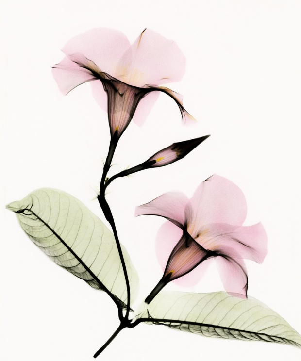 Mandevilla - x ray photography art