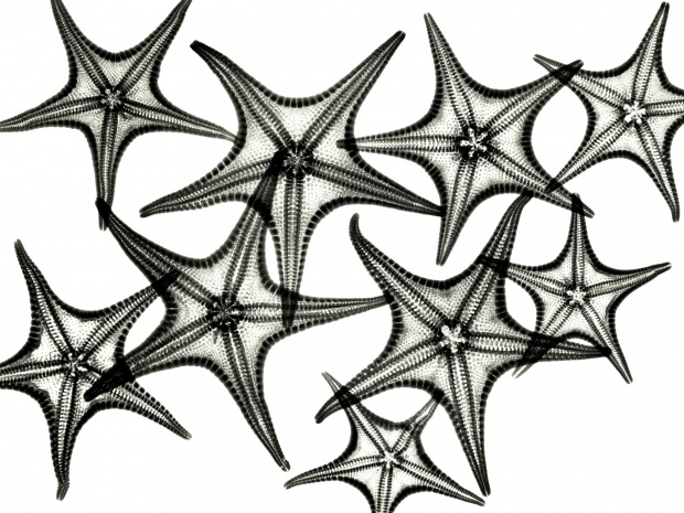 Starfish - x ray photography art